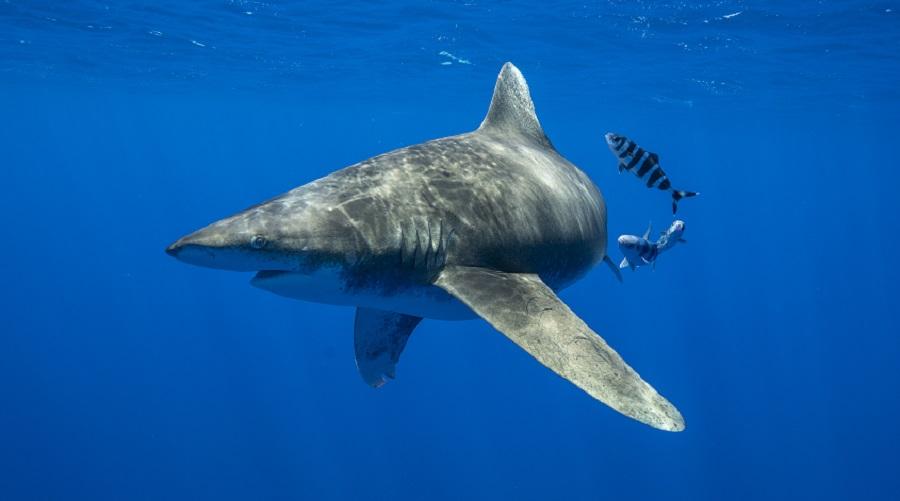 Nat Geo's Fan Favorite SHARKFEST Returns
